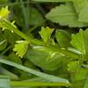 Common Winter Cress, Barbarea vulgaris 2425
