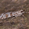 Meadow Grey, Scoparia pyralella 2554