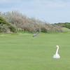 Grey Heron, Ardea cinerea & Mute Swan, Cygnus olor on golf course 2357