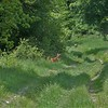 Roe Deer, Capreolus capreolus 2399