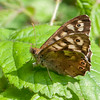 Speckled Wood, Pararge aegeria 2567