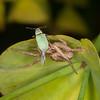 Crab spider noid with Leaf weevil, Phyllobius species 2623