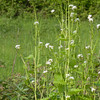 Garlic Mustard, Alliaria petiolata 2680