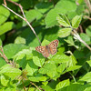 Speckled Wood, Pararge aegeria 2640