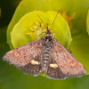 Small Purple and Gold, Pyrausta aurata 2667