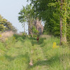 Roe Deer, Capreolus capreolus 2700