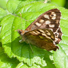 Speckled Wood, Pararge aegeria 2574