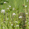 Garlic Mustard, Alliaria petiolata 2676
