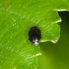 leaf beetle noid 2313