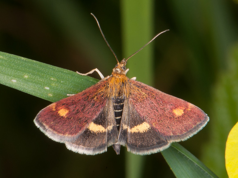 Small Purple and Gold, Pyrausta aurata 2632