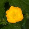 Meadow Buttercup, Ranunculus acris 2281