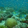 Sergeant Major, Abudefduf vaigiensis & Orange Anthias, Pseudanthias squamipinnis & Coral Reef 6440