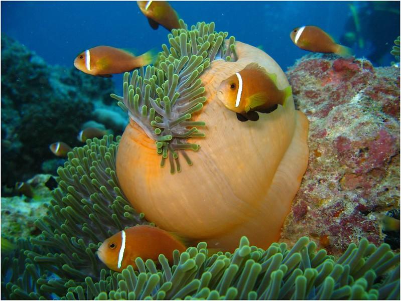 Maldive Anemonefish, Amphiprion nigripes