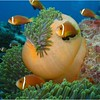 Maldive Anemonefish, Amphiprion nigripes