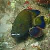 Peacock Rock Cod, Cephalopholis argus 6478