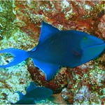 Red-toothed Triggerfish, Odonus niger