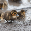 Mallard ducklings, Anas platyrhynchos 6986