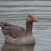 Greylag Goose, Anser anser 6399