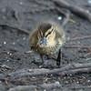 Mallard ducklings, Anas platyrhynchos 7039
