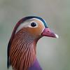 Mandarin Duck, Aix galericulata 6959
