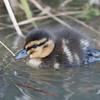 Mallard ducklings, Anas platyrhynchos 6188