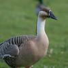 Swan Goose, Anser cygnoides 7189