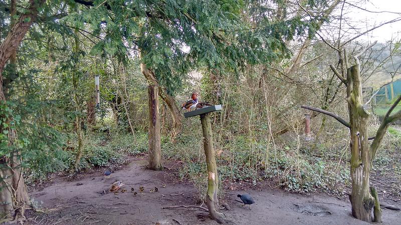Mandarin Ducks, Aix galericulata (1)