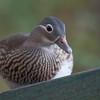 Mandarin Duck ♀, Aix galericulata 6974