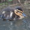 Mallard ducklings, Anas platyrhynchos 6194