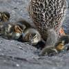 Mallard ducklings, Anas platyrhynchos 7044