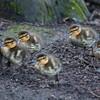 Mallard ducklings, Anas platyrhynchos 7022