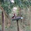 Mandarin Ducks, Aix galericulata (3)