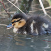 Mallard ducklings, Anas platyrhynchos 6189