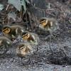 Mallard ducklings, Anas platyrhynchos 7035