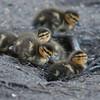 Mallard ducklings, Anas platyrhynchos 7049