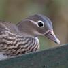 Mandarin Duck ♀, Aix galericulata 6967