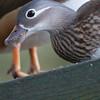 Mandarin Duck ♀, Aix galericulata 6971