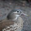 Mandarin Duck ♀, Aix galericulata 6949