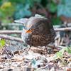 Blackbird ♀, Turdus merula 2422