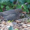 Blackbird ♀, Turdus merula 2417