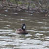 Tufted Duck ♀, Aythya fuligula 1985