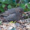 Blackbird ♀, Turdus merula 2415