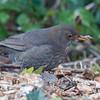 Blackbird ♀, Turdus merula 2419
