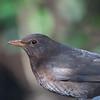 Blackbird ♀, Turdus merula 2332