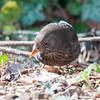 Blackbird ♀, Turdus merula 2425