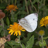 Green-veined White, Pieris napi 0890