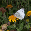 Green-veined White, Pieris napi 0889