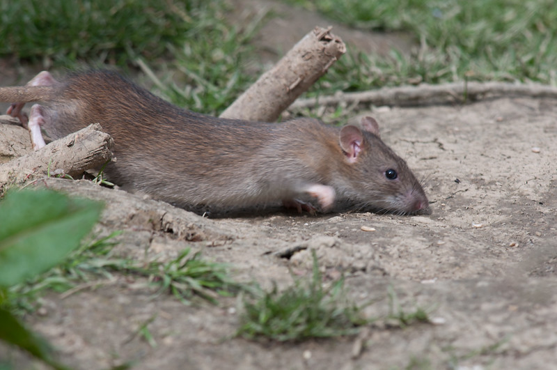 Brown Rat, Rattus norvegicus 6515