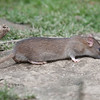 Brown Rat, Rattus norvegicus 6536