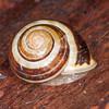 White-lipped Snail, Cepaea hortensis 5814